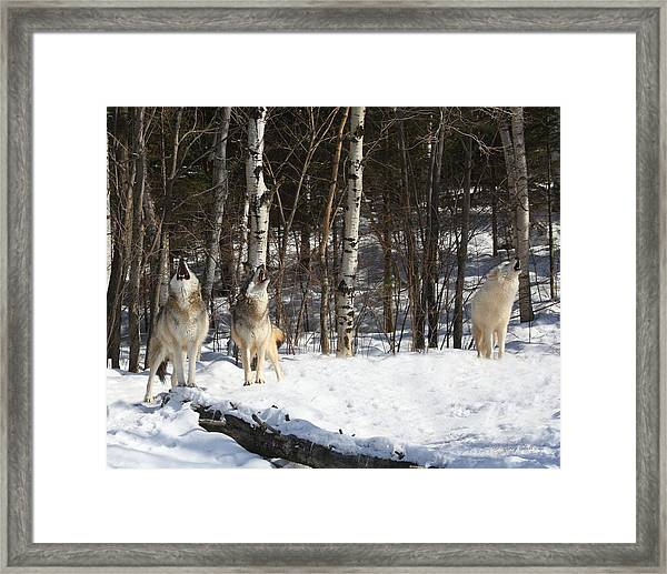 Wolf Choir Framed Print