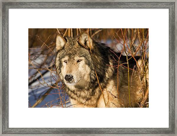 Wolf In Brush Framed Print