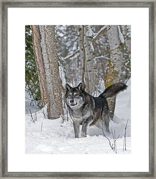 Wolf In Trees Framed Print