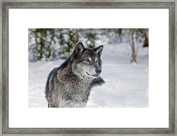 Wolf Portrait Framed Print