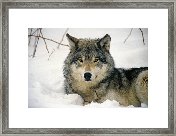 Wolf Rests In Snow Framed Print