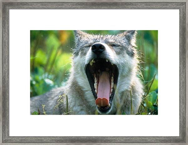 Wolf Yawn Framed Print