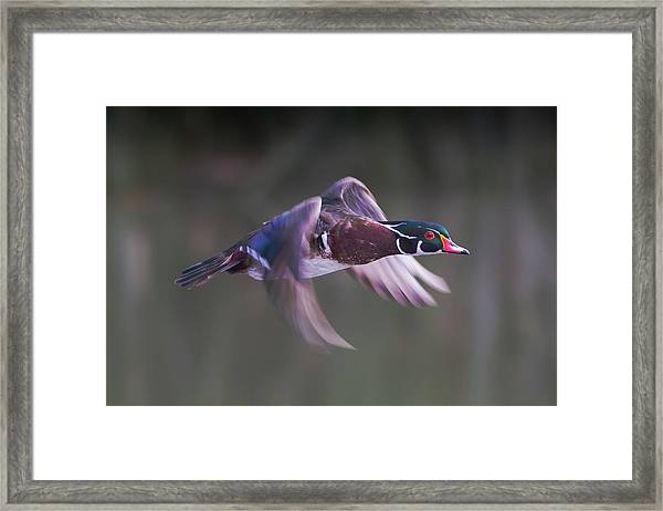 Wood Duck Flight Framed Print
