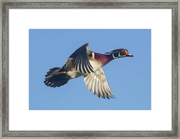 Wood Duck Flying Fast Framed Print