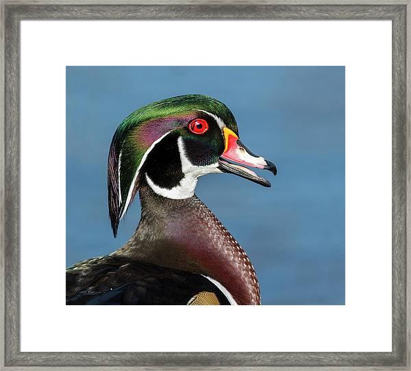 Wood Duck Portrait Framed Print