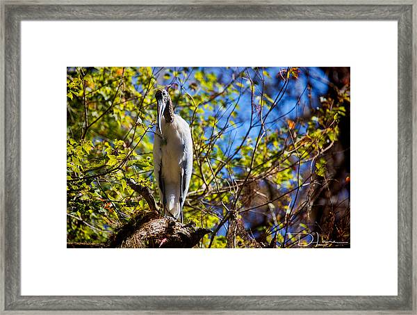 Framed Print featuring the photograph Wood Stork by David A Lane