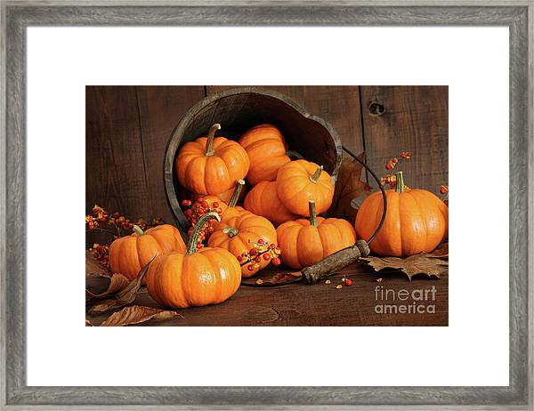 Wooden Bucket Filled With Tiny Pumpkins Framed Print