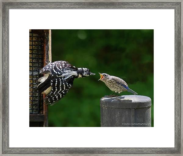 Woodpecker Feeding Bluebird Framed Print