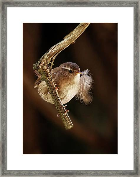 Wren With Feather Framed Print