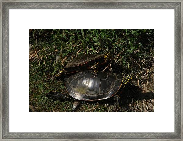 Wrestle Mania Painted Turtle Stlye Framed Print