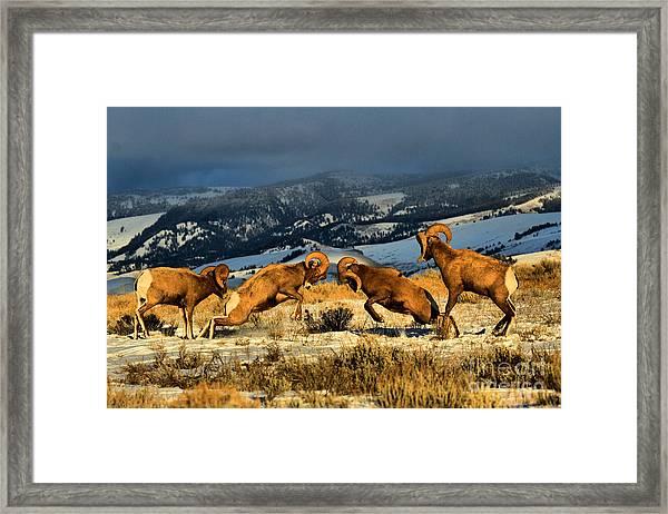 Wyoming Bighorn Brawl Framed Print