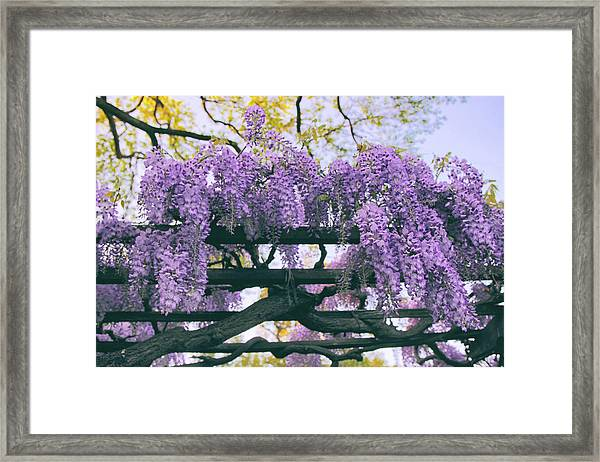 Winsome Wisteria Framed Print