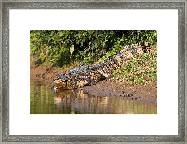 Alligator Crawling Into Yakuma River Framed Print