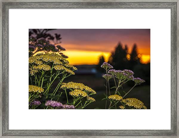 Yarrow At Sunset Framed Print