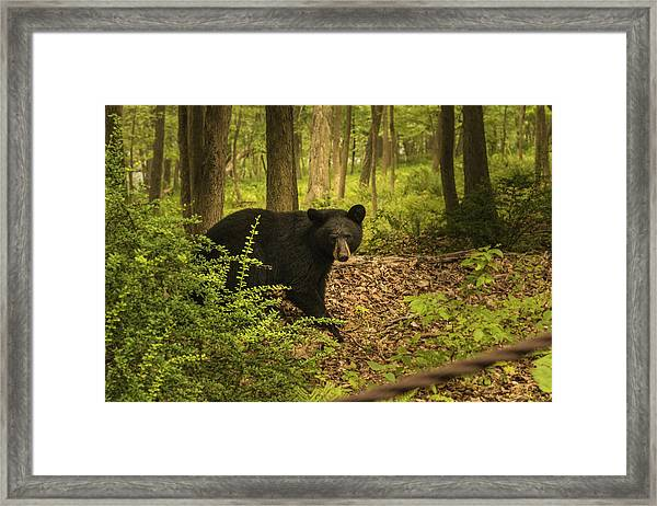Yearling Black Bear Framed Print