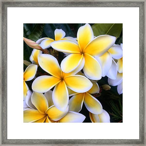 Yellow And White Plumeria Framed Print