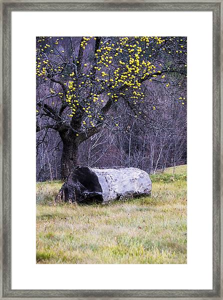 Yellow Apples Framed Print