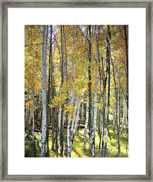 Yellow Aspens Framed Print