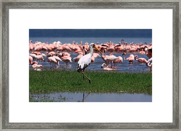 Yellow Billed Stork Framed Print