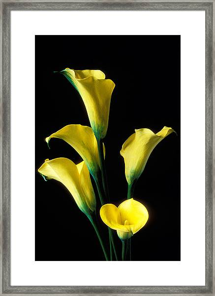 Yellow Calla Lilies  Framed Print