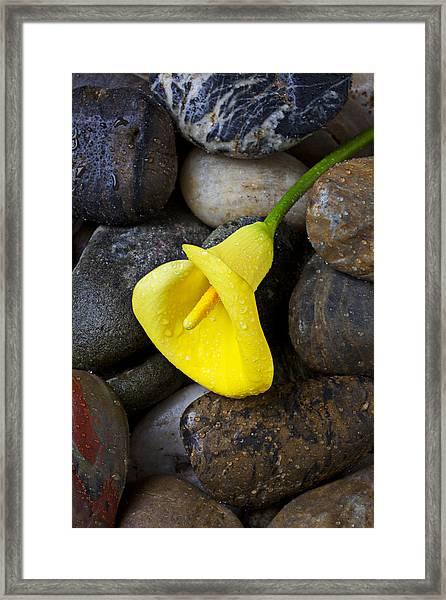 Yellow Calla Lily On Rocks Framed Print