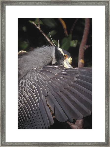 Yellow Crowned Night Heron Framed Print