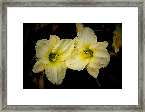 Yellow Day Lilies Framed Print