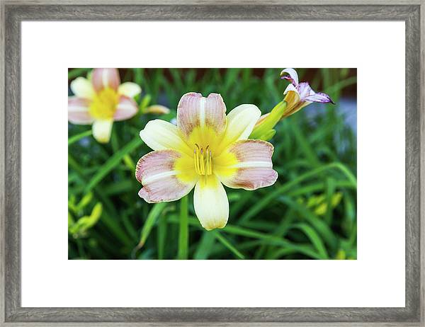 Framed Print featuring the photograph Yellow Daylily by D K Wall