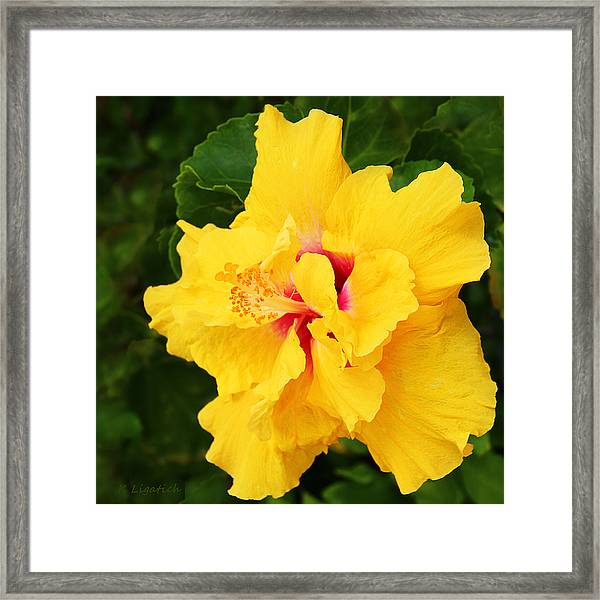 Yellow Double Hibiscus Framed Print