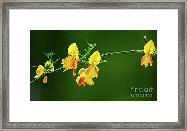 Yellow Fever Framed Print
