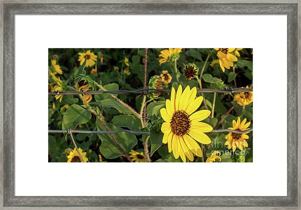 Yellow Flower Escaping From A Barb Wire Fence Framed Print