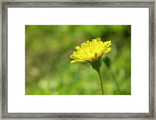 Framed Print featuring the photograph Yellow Flower by Nikos Stavrakas