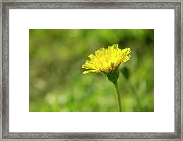 Yellow Flower Framed Print by Nikos Stavrakas