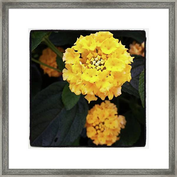 Framed Print featuring the photograph Yellow Lantanas Along The Scenic Drive by Mr Photojimsf