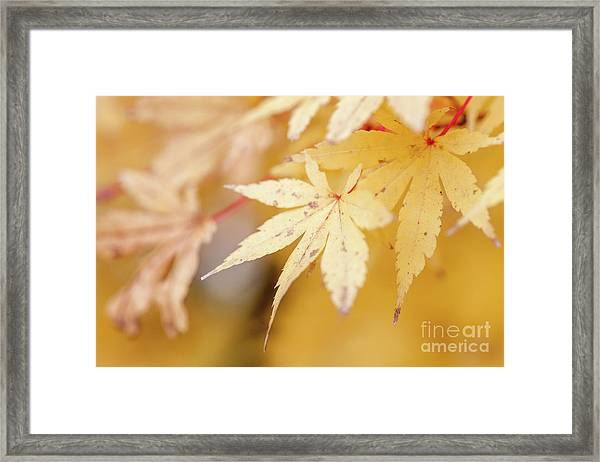 Yellow Leaf With Red Veins Framed Print