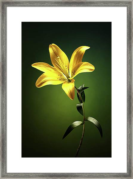 Yellow Lilly With Stem Framed Print