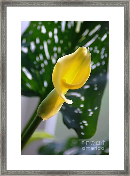 Yellow Mini Calla Lilies Framed Print