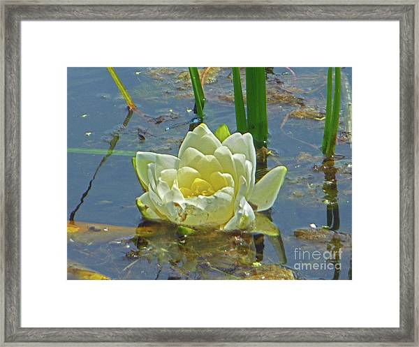 Yellow Nymphaea Alba Damselfy Framed Print