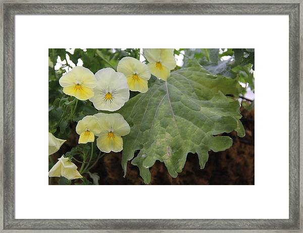 Yellow Pansies Framed Print