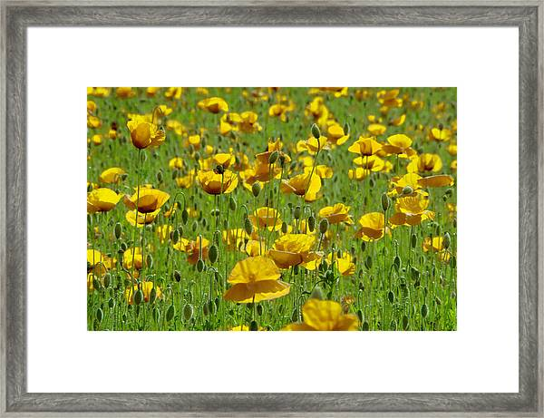Yellow Poppy Field Framed Print
