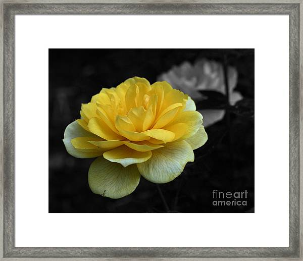 Yellow Rose In Bloom Framed Print