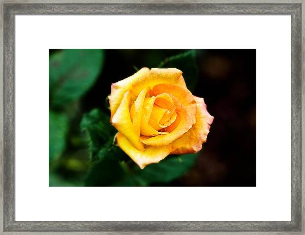 Yellow Rose Framed Print