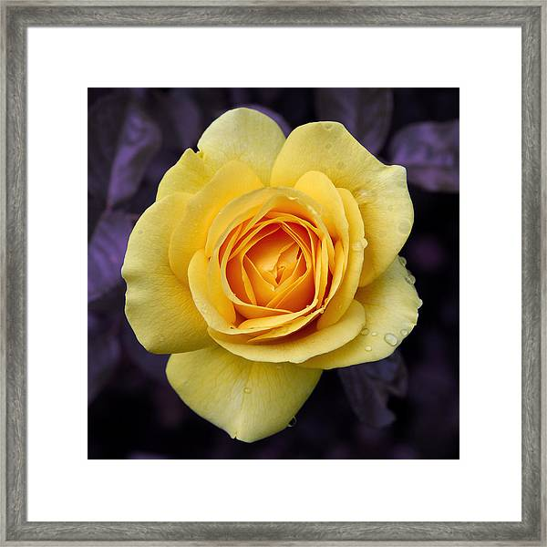 Yellow Rose Square Framed Print