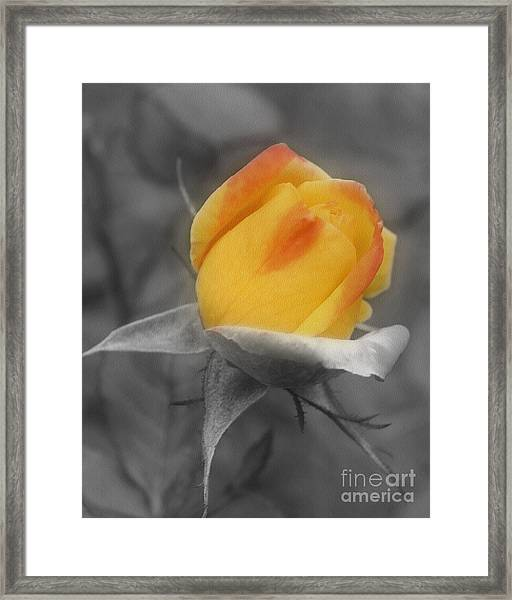 Yellow Rosebud Partial Color Framed Print