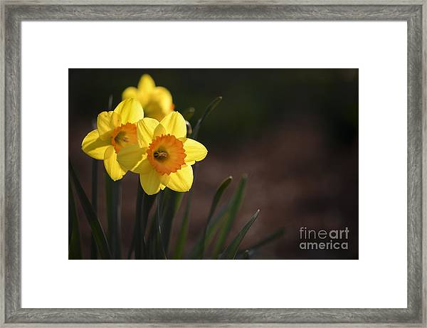 Yellow Spring Daffodils Framed Print