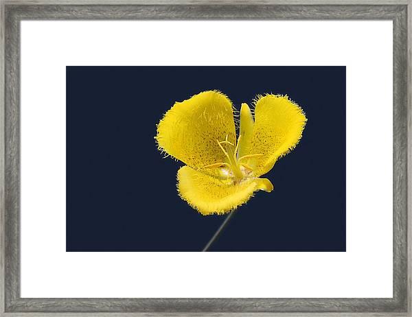Yellow Star Tulip - Calochortus Monophyllus Framed Print
