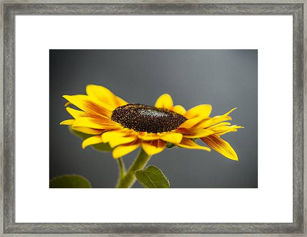 Yellow Sunflower Photograph Framed Print