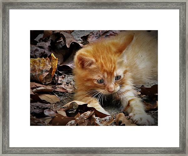 Yellow Tabby Kitten Framed Print