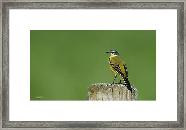 Yellow Wagtail Perching On The Roundpole Framed Print