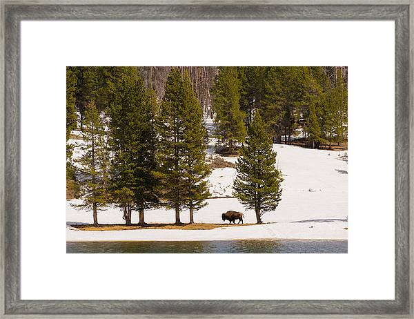 Yellowstone Buffalo Framed Print